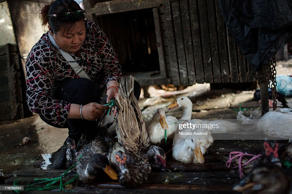 A vendor puts poultry that were not sold back in their holding pen at the end of the day at the Orussey Market in central Phnom Penh on August 25, 2013 in Phnom Penh, Cambodia. Cambodia has seen the worst out break of Avian influenza H5N1 since the disease was first identified, so far this year 17 cases have been report, 10 of which have been fatal.