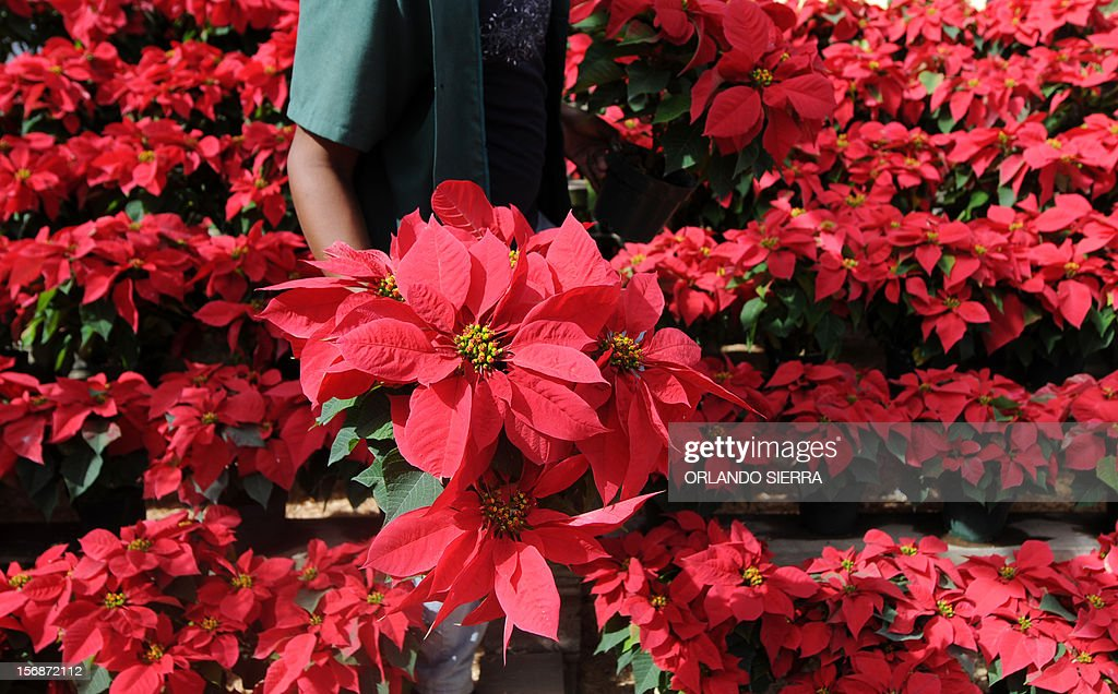 A vendor sells poinsettias (Euphorbia pulcherrima), a species of the Euphorbiaceae family indigenous to Mexico and Central America and known as Easter Flower or Christmas Eve, at a nursery in Tegucigalpa on November 23, 2012. AFP PHOTO/Orlando SIERRA