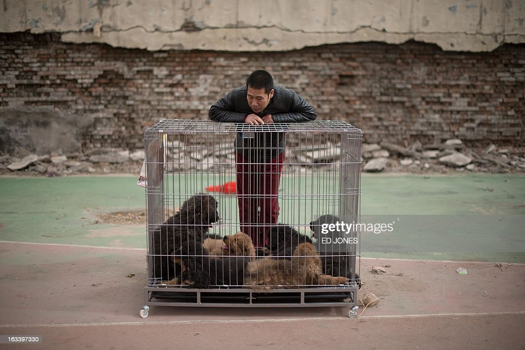 A vendor stands with his Tibetan mastiff puppies displayed for sale at a mastiff show in Baoding, Hebei province, south of Beijing on March 9, 2013. Fetching prices around 750,000 USD, mastiffs have become a prized status-symbol amongst China's wealthy, with rich buyers across the country sending prices skyrocketing. Owners say the mastiffs, descendents of dogs used for hunting by nomadic tribes in central Asia and Tibet are fiercely loyal and protective. Breeders still travel to the Himalayan plateau to collect young puppies, although many are unable to adjust to the low altitudes and die during the journey. AFP PHOTO / Ed Jones