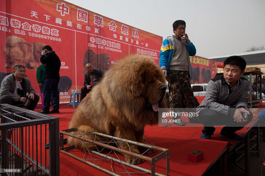 Vendors gather on a stage with their Tibetan mastiff dogs displayed for sale at a mastiff show in Baoding, Hebei province, south of Beijing on March 9, 2013. Fetching prices around 750,000 USD, mastiffs have become a prized status-symbol amongst China's wealthy, with rich buyers across the country sending prices skyrocketing. Owners say the mastiffs, descendents of dogs used for hunting by nomadic tribes in central Asia and Tibet are fiercely loyal and protective. Breeders still travel to the Himalayan plateau to collect young puppies, although many are unable to adjust to the low altitudes and die during the journey. AFP PHOTO / Ed Jones
