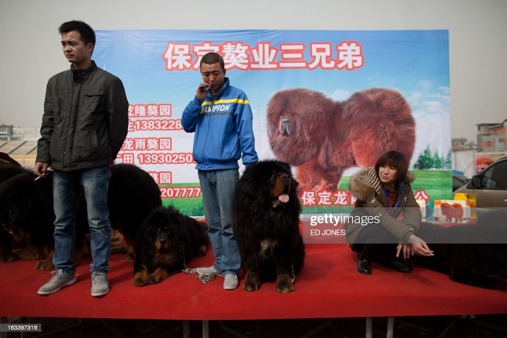 Vendors stand on a stage with their Tibetan mastiff dogs displayed for sale at a mastiff show in Baoding, Hebei province, south of Beijing on March 9, 2013. Fetching prices around 750,000 USD, mastiffs have become a prized status-symbol amongst China's wealthy, with rich buyers across the country sending prices skyrocketing. Owners say the mastiffs, descendents of dogs used for hunting by nomadic tribes in central Asia and Tibet are fiercely loyal and protective. Breeders still travel to the Himalayan plateau to collect young puppies, although many are unable to adjust to the low altitudes and die during the journey. AFP PHOTO / Ed Jones
