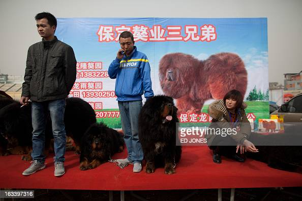 Vendors stand on a stage with their Tibetan mastiff dogs displayed for sale at a mastiff show in Baoding Hebei province south of Beijing on March 9...