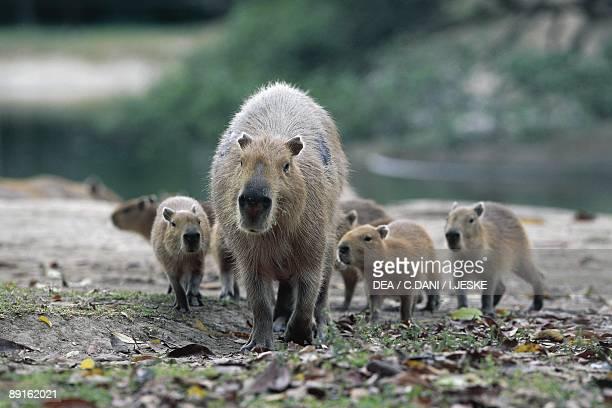 Venezuela Los Llanos Apure Capybara with babies