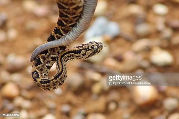Venezuelan Rattlesnake