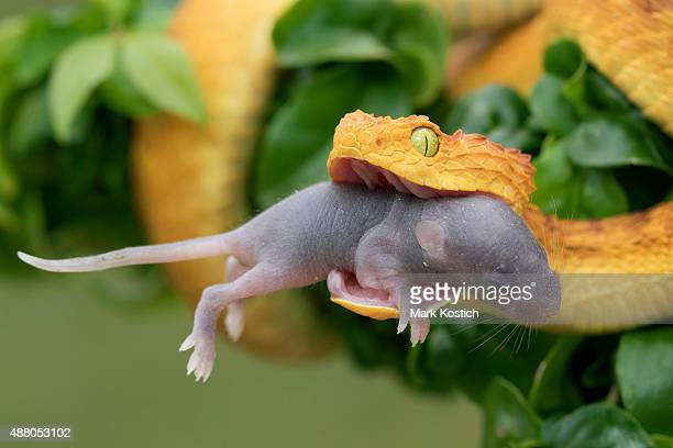 Venomous Bush Viper Snake Eating Rodent