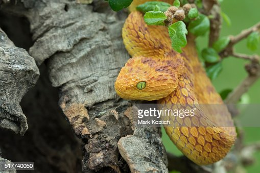 Green Bush Viper Stock Photos and Pictures | Getty Images