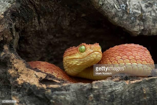 Venomous Bush Viper Snake - Red Phase