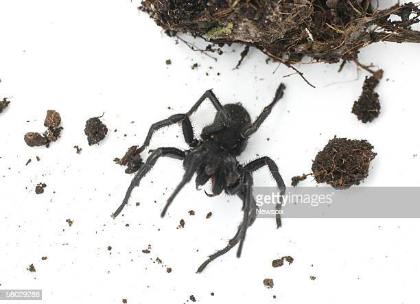 A venomous funnel web spider found by head of terrestrial biodiversity at Queensland Museum Dr Robert Raven as part of the nationwide Bush Blitz...
