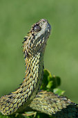 Venomous Hairy Bush Viper Snake (Atheris hispida) Looking Straight Up - Female