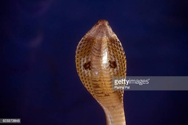 Venomous Indian cobra,close view
