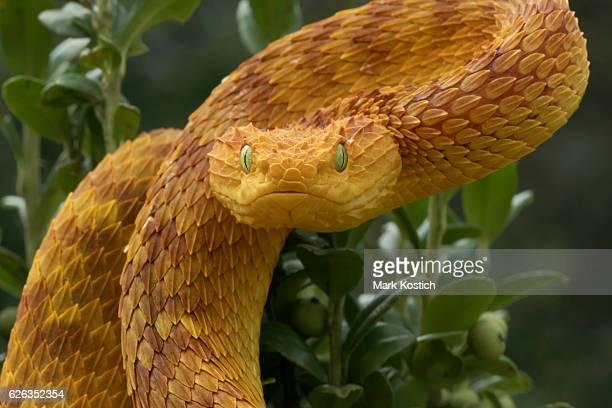 Venomous Orange Bush Viper Snake Ready to Strike