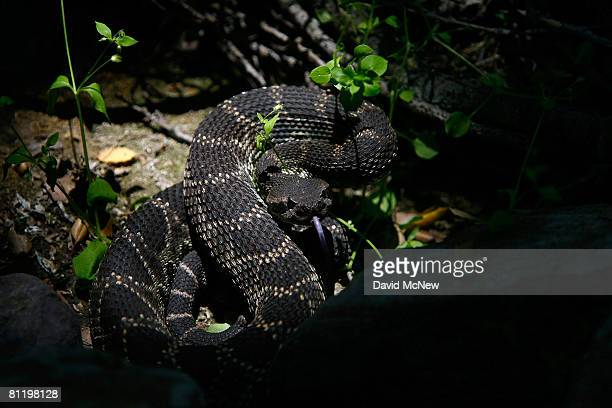 A venomous southern Pacific rattlesnake tastes the air in Santa Ynez Canyon in Topanga State Park on May 21 2008 in Los Angeles California...