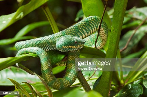 Venomous Waglers Pit Viper (Tropidolaemus wagleri) resting on branch in rainforest.