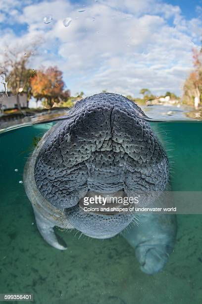 Venturesome Manatee approaching camera