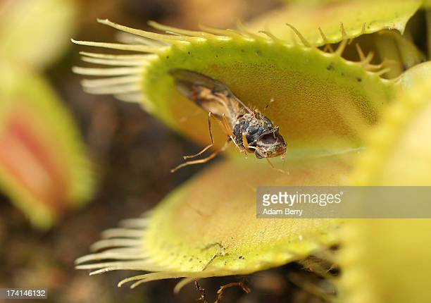 Venus fly trap consumes a dead fly as it sits on display at a presentation of carnivorous plants at the BerlinDahlem Botanical Garden on July 20 2013...
