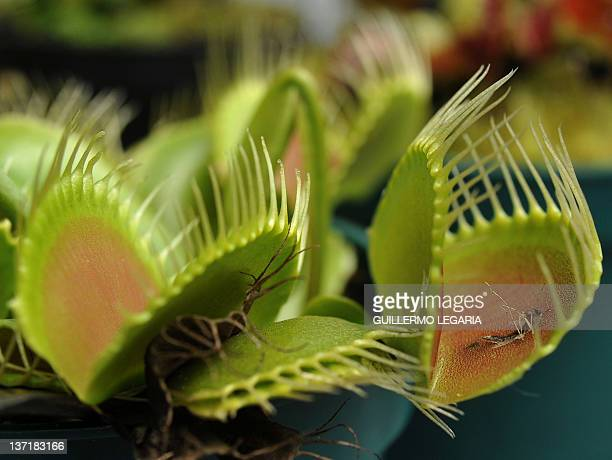 A Venus Flytrap is displayed during the opening of the exhibition of carnivorous plants at La Reserva biopark in the municipality of Cota outskirts...