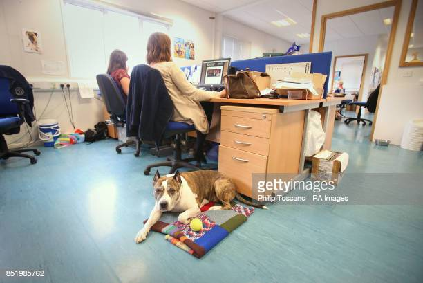 Vera a Staffordshire Bull Terrier from Lithuania who has stayed at Battersea for more than twice the average 35 days for dogs and stays in the...