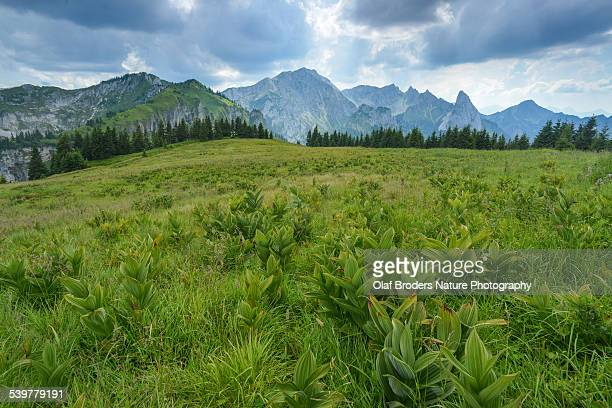 Veratrum plants on Alpine meadow in Ammergau Alps
