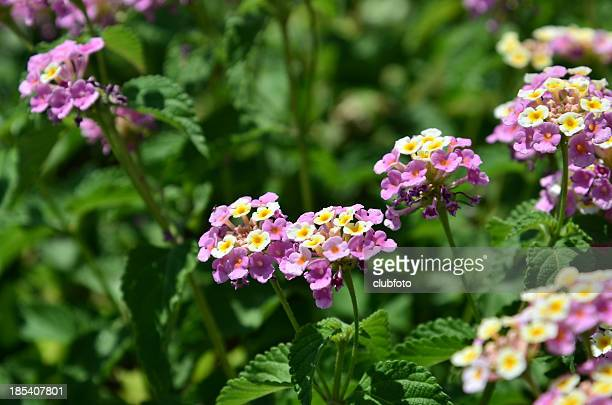 Verbena Lantana flowers