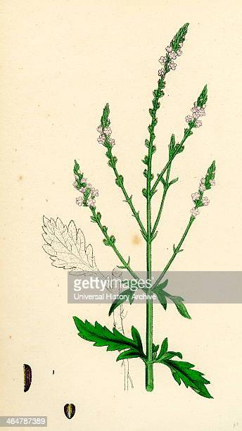 Verbena officinalis Common Vervain