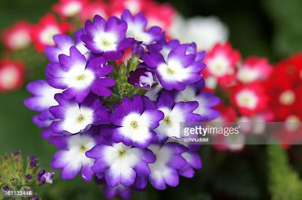 Verbena-Cultivars flowers