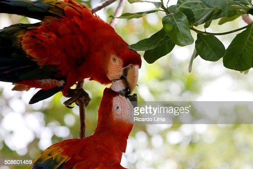 Vermelha Macaw Ara chloropterus : Foto de stock