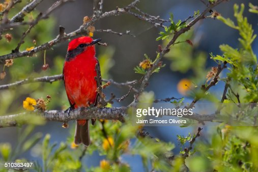 Vermilion Flycatcher Perching