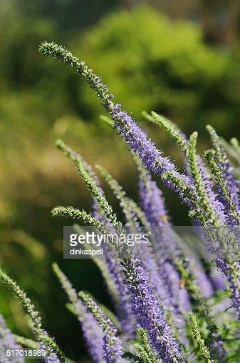 Langblättriger Ehrenpreis veronica longifolia subsp maritima stock photo | thinkstock
