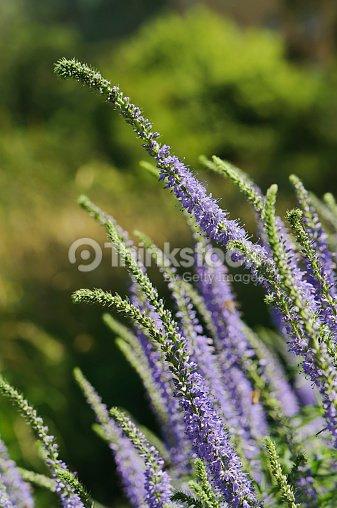 Langblättriger Ehrenpreis veronica longifolia subsp maritima stock photo   thinkstock
