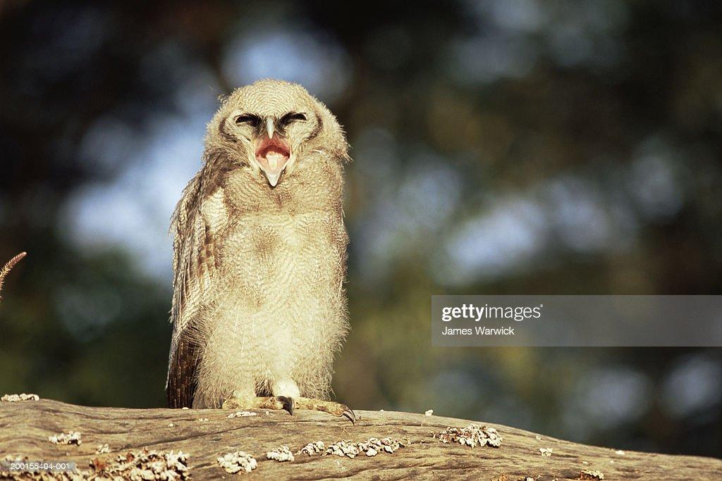 Verreaux's eagle owl (Bubo lacteus) screeching : Stock Photo
