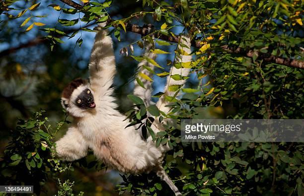 Verreaux's Sifaka adult vocalising Madagascar