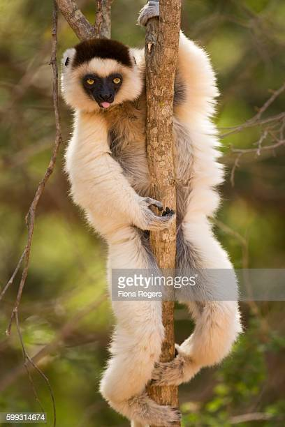Verreaux's sifaka clinging to tree - portrait.
