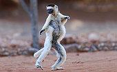 Verreaux's Sifaka (Propithecus verreauxi) dancing in the Berenty Nature Reserve, southern Madagascar