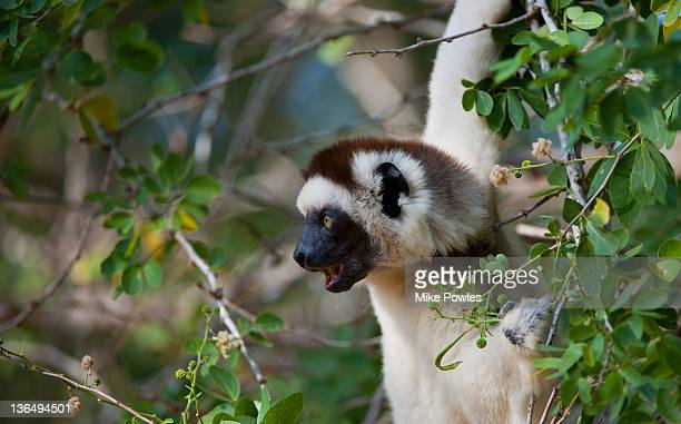 Verreaux's Sifaka female vocalising Madagascar