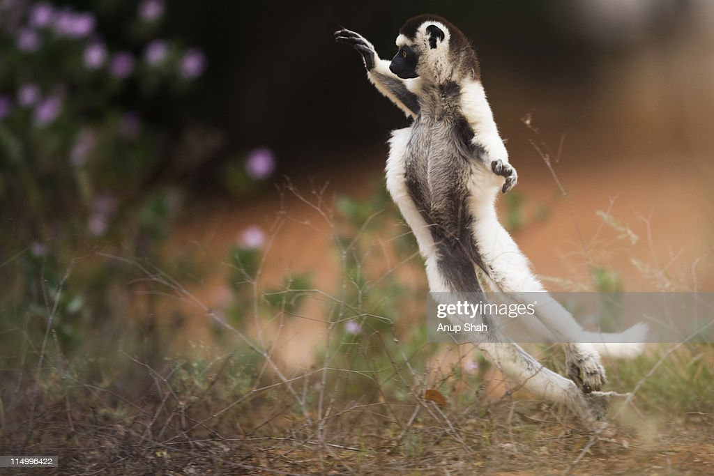 Verreaux's sifaka hopping across open ground