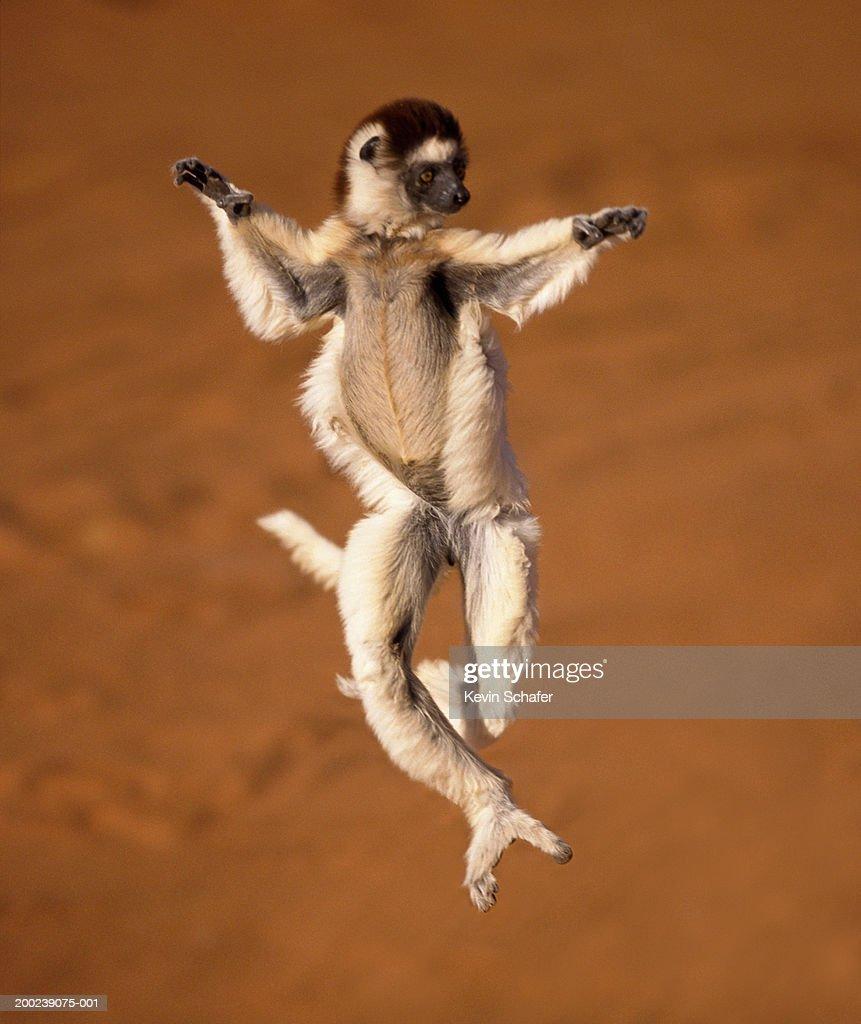 Verreaux's Sifaka (Propithecus verreauxi) jumping in air