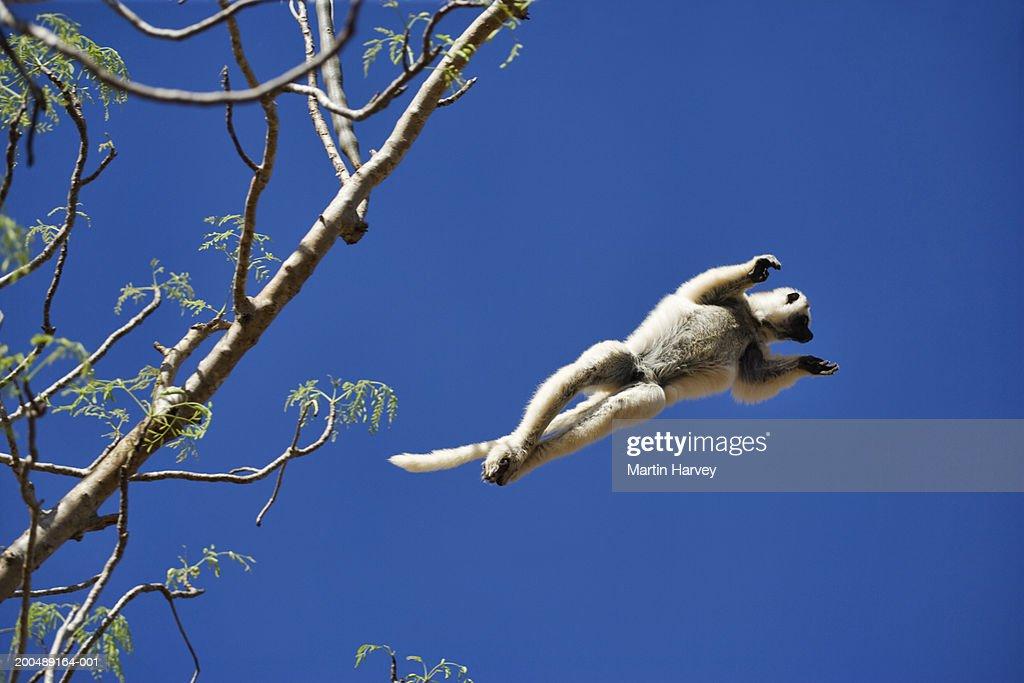 Verreaux's Sifaka (Propithecus verreauxi verreauxi) leaping from tree