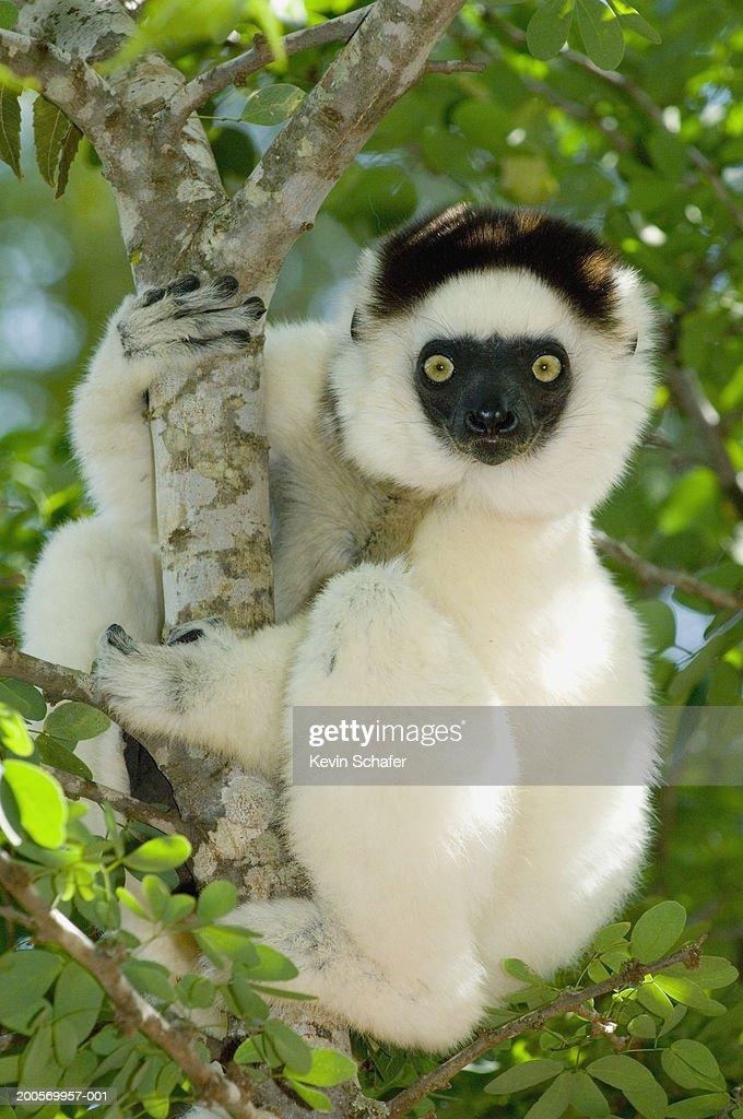 Verreaux's sifaka lemur (Propithecus verreauxi) in tree, close-up