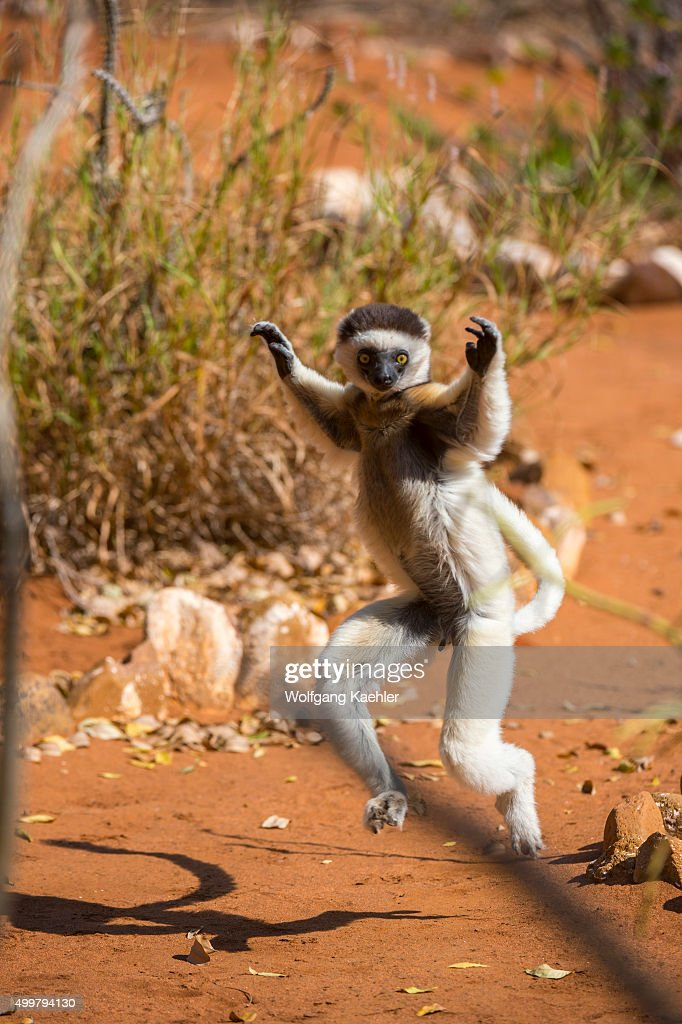 Verreaux's sifaka or white sifaka hopping sideways on the ground holding their forelimbs up for balance Berenty Reserve in southern Madagascar