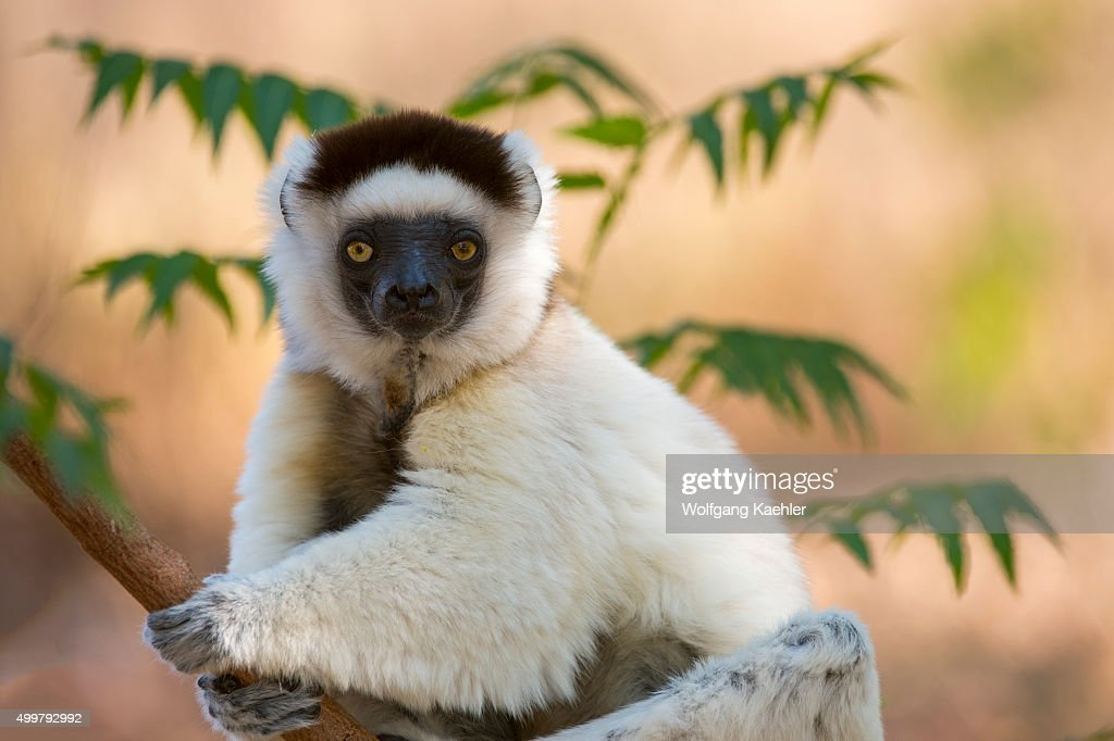 Verreaux's sifaka or white sifaka in tree at Berenty Reserve in southern Madagascar
