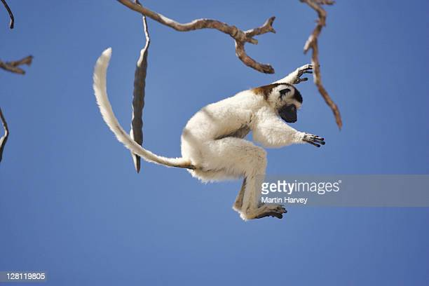 Verreauxs Sifaka, Propithecus verreauxi verreauxi, leaping from tree. Long tail is used for balance when leaping from tree to tree. Endangered. Western Madagascar