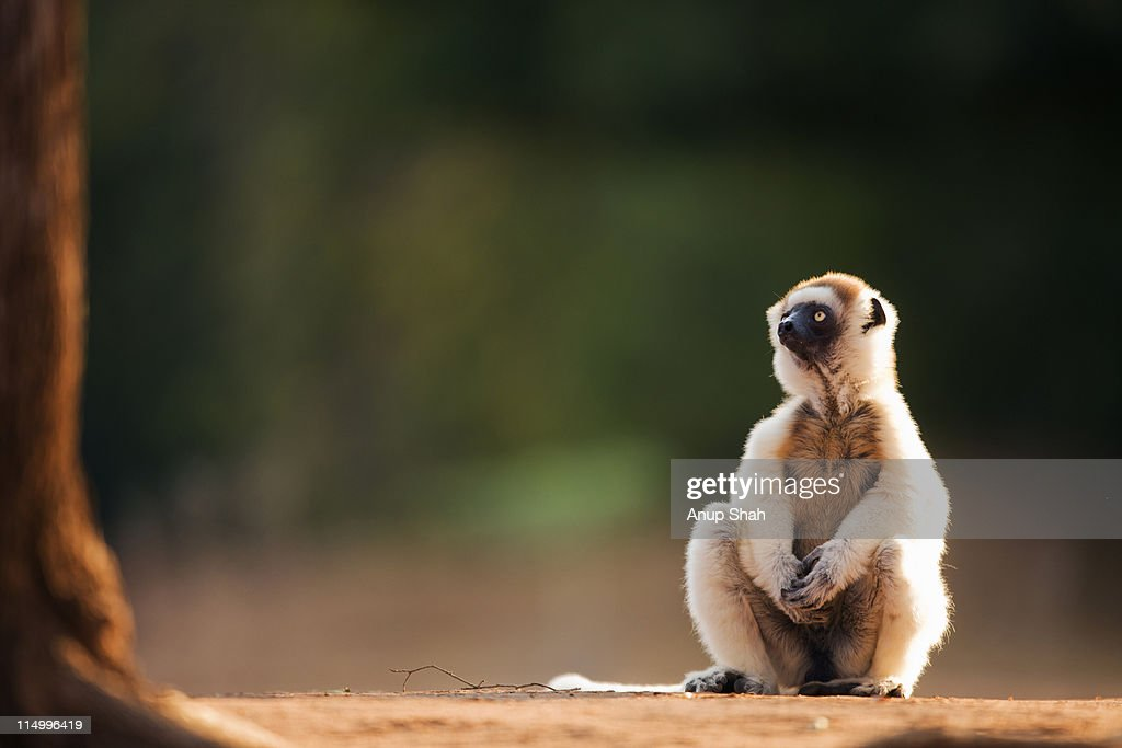 Verreaux's sifaka  sitting on its haunches