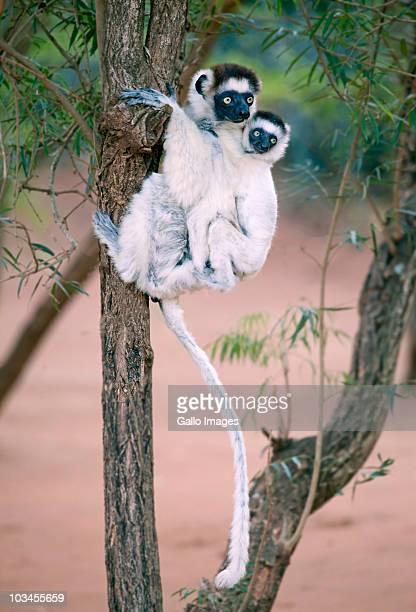 Verreauxs Sifaka (Propithecus verreauxi) with baby, Berenty Lemur Reserve, Madagascar