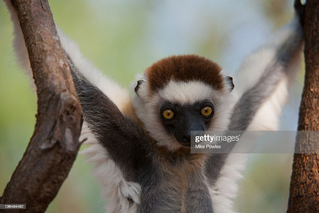 Verreaux's Sifaka youngster Madagascar