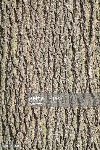 Vertical bark trunk of Italian alder tree Alnus cordata