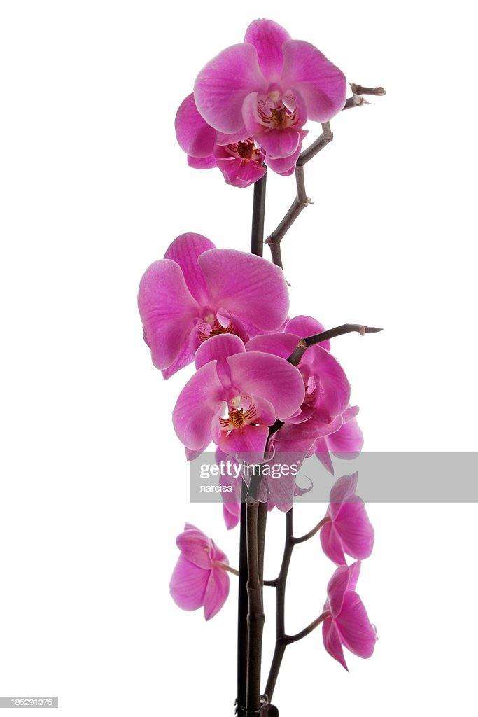 Vertical pink phalaenopsis orchid : Stock Photo