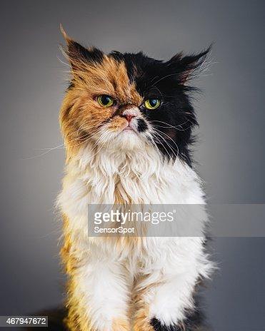 Vertical Portrait of a Persian Cat Looking at Camera.