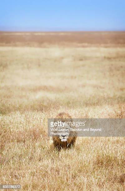 Vertical View of Male Lion Walking Through the Grass in the Ngorongoro Crater