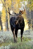 bull moose, fall