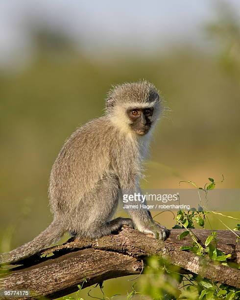 Vervet monkey (Chlorocebus aethiops), Addo Elephant National Park, South Africa, Africa